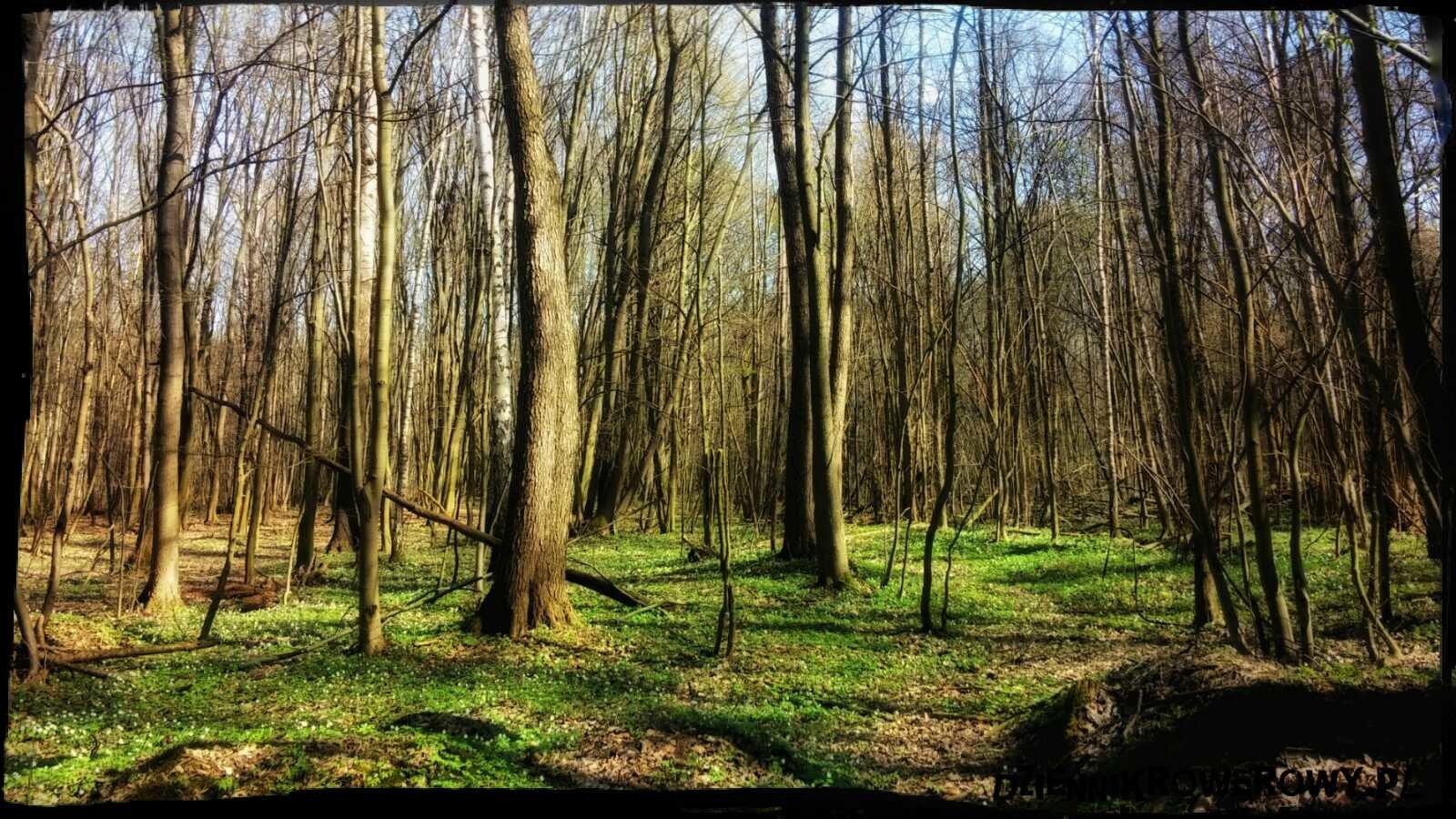 Lasy Młochowskie kwiecień